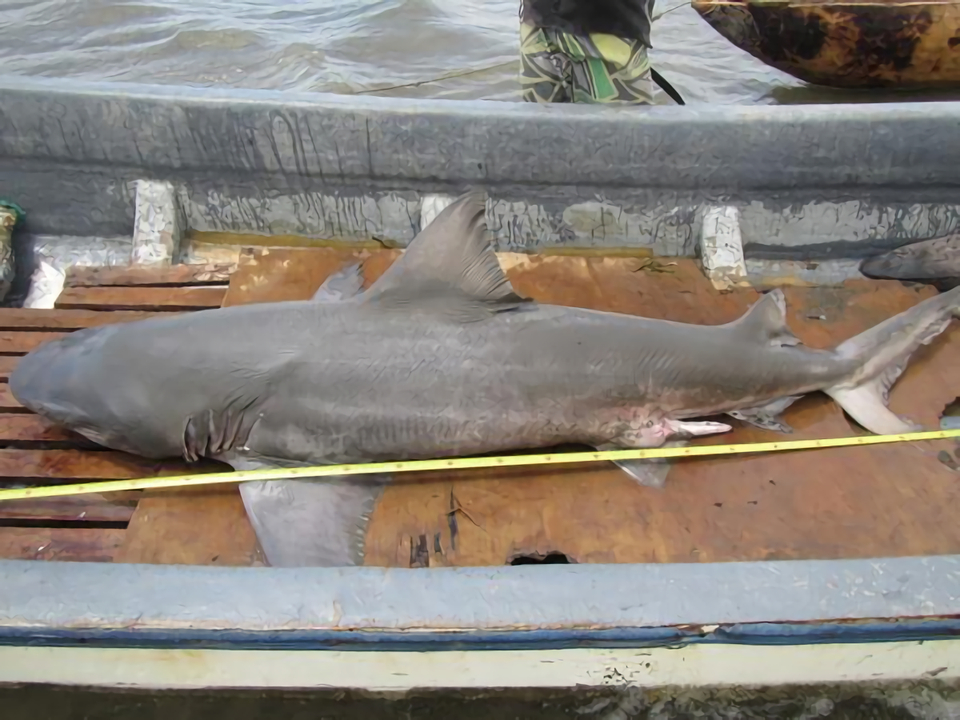 Rare shark river monsters