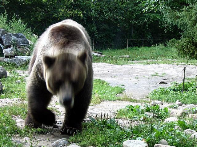 Bear attacking. Photo: Loozr Boy