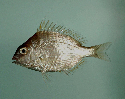 New york dec announces extension to recreational fishing for Porgy fish recipe