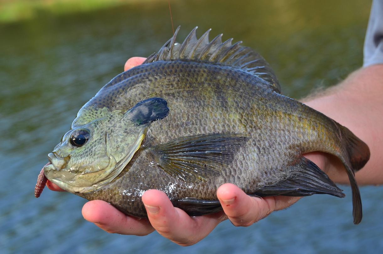 largemouth bass eating - photo #46