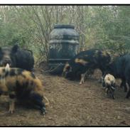Dominant boar