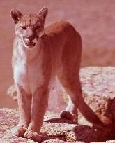 Cougar. Photo: Michigan DNR