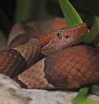 poisonous snakes of the americas american copperhead ag