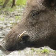 Wild pig. Photo: Hans Thijs