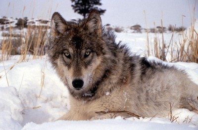 Close up of a gray wolf in the midwest region, United States