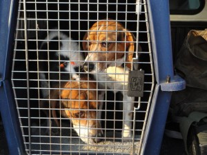A Brace of Beagles Makes for an Ideal Hunt