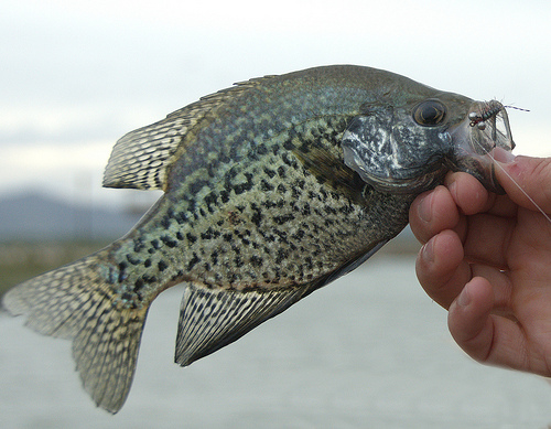 Crappie usa coming to mississippi 39 s washington lake for Crappie fishing in mississippi