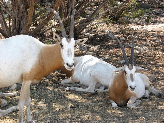 Scimitar-horned onyx