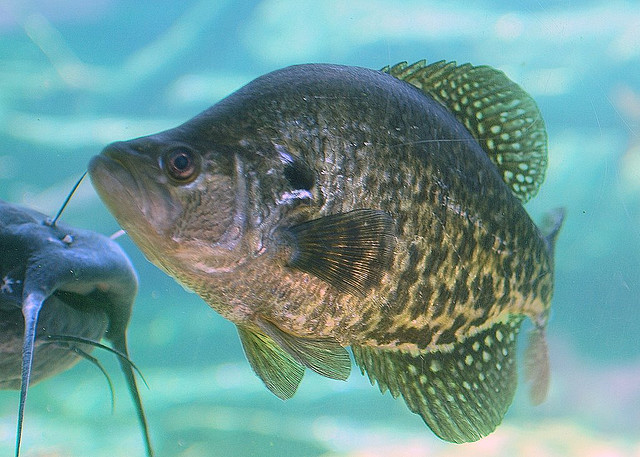 Crappie. Photo: Pen Waggener