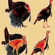 turkeyshotplacement