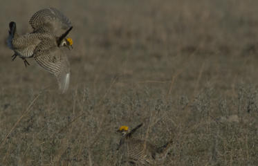 AERIAL-SURVEY-TO-SEARCH-LESSER-PRAIRIE-CHICKEN-RANGE_frontimagecrop