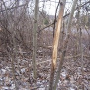 If you look beyond this nice rub you will see a roadway in the background. Don't overlook urban woodlots when it comes time to shed hunt.