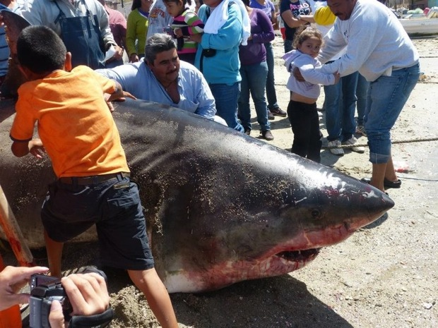 Two-Thousand Pound Great White Shark Hauled Out of the Gulf of California