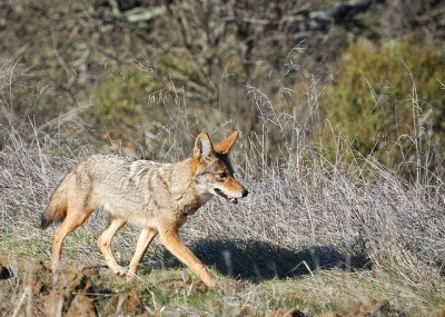Coyote along the Redtail Loop trail in Arastradero Preserve, California