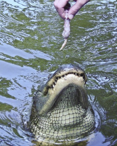 Feeding the alligator