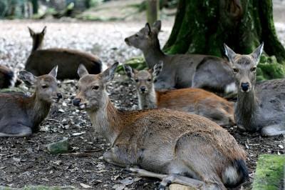 Herd of deer in Nara, Japan