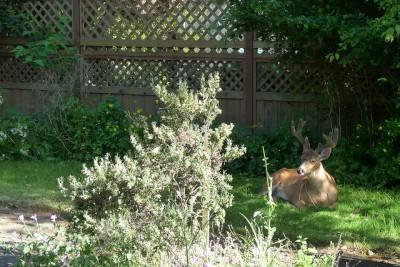 Buck in the backyard