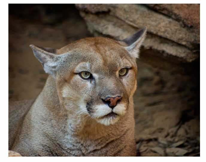 U S Mountain Lion Population Cougar Numbers ...
