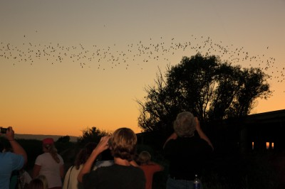 Spectators at Yolo Bypass Wildlife Area watch a colony of Mexican free-tailed bats soar into the sky at sunset.