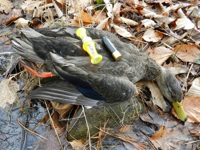 The author took this daily limit tidal marsh Maine black duck with subtle calling last season. Practice duck calling now in summer to be ready for fall. Photo: Steve Hickoff