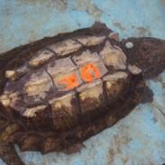 Aligator turtle