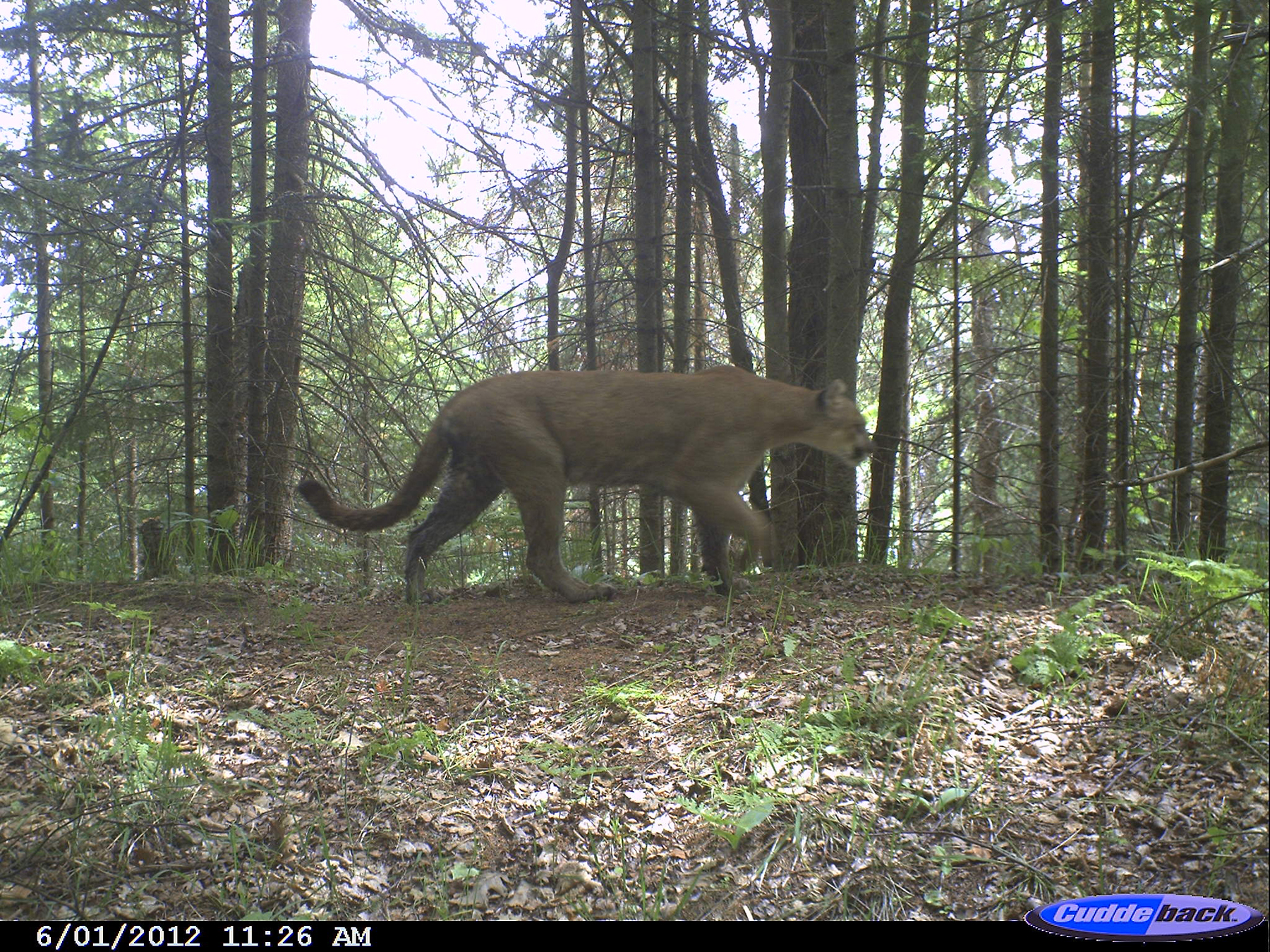 Cougar Photographed By Michigan Trail Cam Suggests