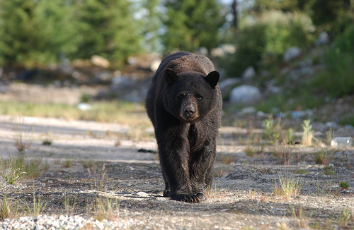 Michigan Bear Hunting Quot Help Quot Convictions Overturned By