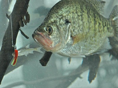 fishing for crappie with goldfish
