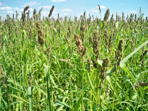 Golden Millet for duck food plots