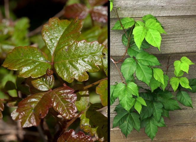 Left: Poison oak. Right: Poison ivy.