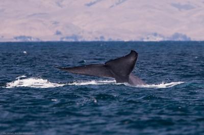 Blue Whale Balaenoptera musculus 29 July 2010
