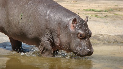 The hippopotamus pictured above is not related to this story.
