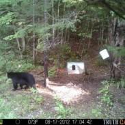 bear cam3