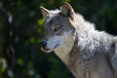 Gray wolf in Minnesota