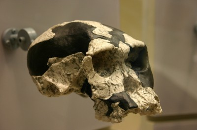 Skull of Homo habilis on display at the Smithsonian Natural History Museum