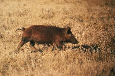Hog walking