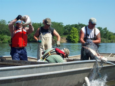 Col. Frederic A. Drummond Jr., U.S. Army Corps of Engineers Chicago District commander, tosses an invasive silver carp onto a commercial fishing boat here, June 5, 2012. More than 850 bighead and silver carp were caught in trammel nets during this outing.