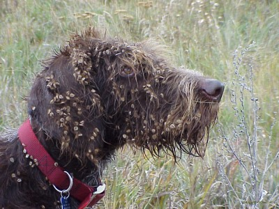 Houndstongue seeds covering a dog