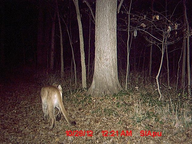 Cougars In Maryland
