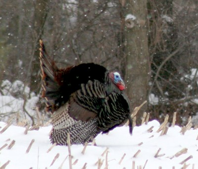 Vermont the wild turkey contributed to thanksgiving for Vermont fish and wildlife