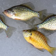 Crappies and a sunfish start a mess -- they'll likely be joined by bluegills and perch in an early-ice sampler!