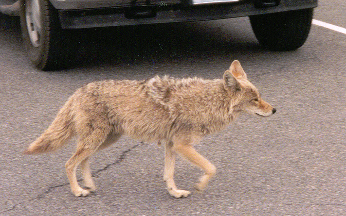 Illinois Homeowner Defends Dogs From Coyotes Outdoorhub