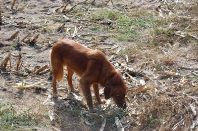 Getting the dog back in the field is the goal of retriever rehab, even if it's just for fun.
