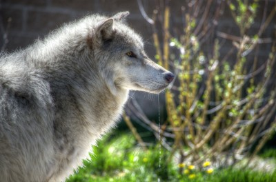 montana yellowstone wolf