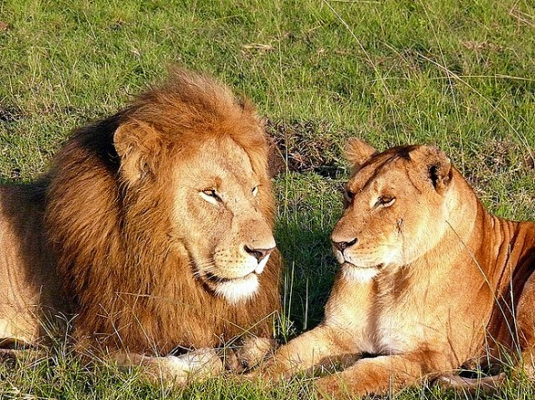American Hunters are Necessary to Save African Lions
