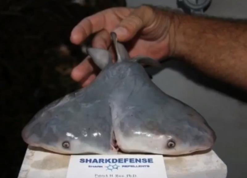 two headed bull shark