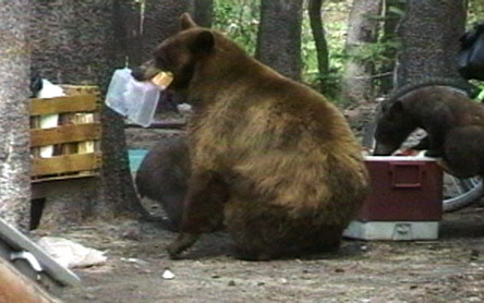 A Mammoth Lake bear gets into a campsite.
