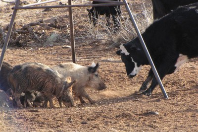 Feral Pigs can also transmit disease to livestock