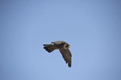 Falcon in the sky in Kansas City