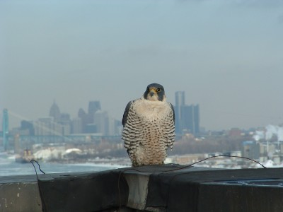 A Peregrine Falcon with the Detroit skyline in the background. Once a polluted and nigh-uninhabitable mess, the Detroit River and its surrounding ecosystem has undergone a major restoration that can serve as a model for other waterways. Image courtesy DTE Energy.